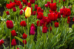 Поля тюльпана Woodburn Орегона Стоковая Фотография