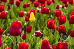 Поля тюльпана Woodburn Орегона Стоковое Фото