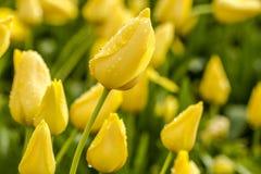 Поля тюльпана Woodburn Орегона Стоковое Изображение RF
