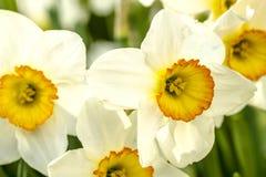 Поля тюльпана Woodburn Орегона Стоковые Изображения