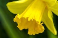 Поля тюльпана Woodburn Орегона Стоковые Фото