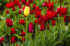 Поля тюльпана Woodburn Орегона Стоковое Изображение
