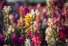 Поля цветка в Карлсбаде Стоковые Изображения
