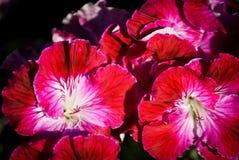 Поля цветка в Карлсбаде Стоковое Изображение RF
