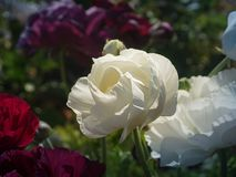 Поля цветка в Карлсбаде Стоковые Изображения RF