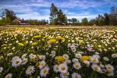 Поля цветка Готланда, Швеции стоковая фотография rf