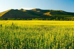 Поля цветка рапса и заход солнца холмов Стоковые Фото