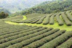 Поля чая в Mae Salong Chiang Rai, Таиланде Стоковые Фотографии RF