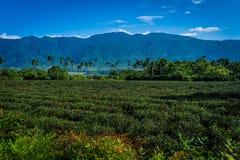 Поля чая Тайваня Стоковая Фотография