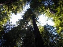 Под Redwoods Стоковые Фотографии RF