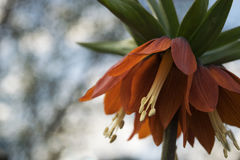 под wiew imperialis fritillaria Стоковые Изображения RF