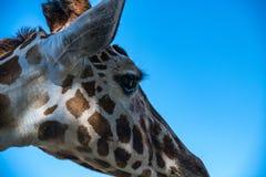 Правая голова профиля жирафа Стоковое Фото
