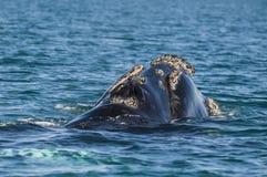 Правильный кит, Стоковая Фотография RF