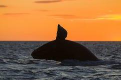 Правильный кит Стоковое Фото