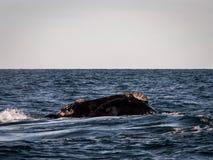 Правильного кита конец вверх Стоковые Фото