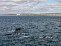 3 правильного кита Стоковые Фотографии RF
