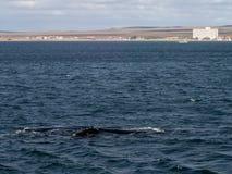 Правильный кит на Puerto Madryn Стоковая Фотография RF