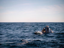 Правильный кит от позади Стоковое Фото