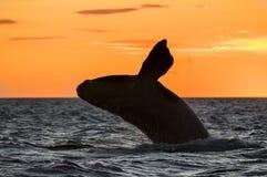 Правильный кит, Патагония, Аргентина Стоковое Фото