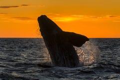 Правильный кит Стоковая Фотография
