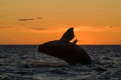 Правильный кит Стоковая Фотография RF