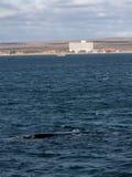 Правильный кит Puerto Madryn Стоковые Изображения