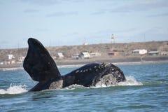 Правильный кит Sothern стоковая фотография