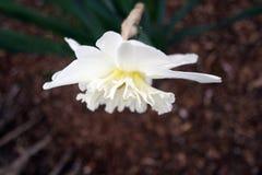 Правописный белый Daffodil Стоковое Изображение