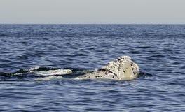 правые южные киты Стоковые Изображения RF