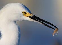 Правый профиль egret снежной белизны с креветкой в клюве Стоковые Изображения RF