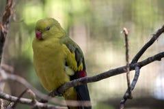 Правящий попугай Стоковые Изображения