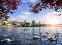 Прага Карлов мост и лебеди на реке Влтавы в Праге взгляд городка республики cesky чехословакского krumlov средневековый старый стоковое изображение rf