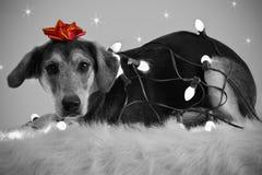 праздник собаки смычка освещает красный цвет Стоковые Изображения