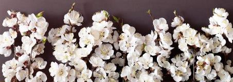 Праздничная предпосылка на праздники весны Цветки весны на черной предпосылке Цветение абрикоса r стоковые изображения
