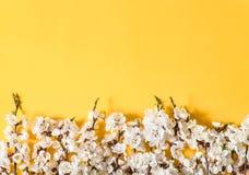 Праздничная предпосылка на праздники весны Цветки весны на предпосылке цвета Цветение абрикоса r стоковое изображение