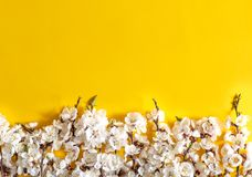 Праздничная предпосылка на праздники весны Цветки весны на предпосылке цвета Цветение абрикоса r стоковое изображение rf