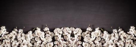 Праздничная предпосылка на праздники весны Цветки весны на черной предпосылке Цветение абрикоса r стоковая фотография