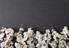 Праздничная предпосылка на праздники весны Цветки весны на черной предпосылке Цветение абрикоса r стоковая фотография rf