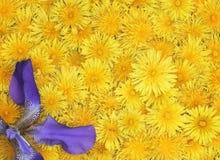 Праздничная флористическая предпосылка ярких желтых одуванчиков Стоковые Фото