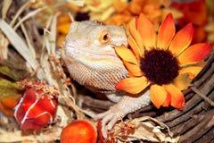 Праздничный бородатый дракон Стоковые Изображения