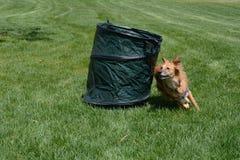 Практика бочонка подвижности собаки Стоковая Фотография RF