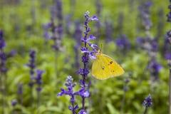 Пребывание бабочки на фиолетовых цветках Стоковые Фото