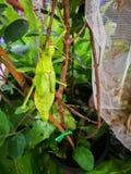 Пребывание кузнечика нимфы джунглей dilatata Heteropteryx на ветви зеленого дерева в лесе стоковое фото