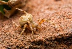 Пребывание паука Брайна на камне стоковые фотографии rf