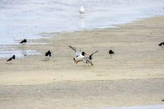 Пребывание чайки на песке в Норвегии стоковая фотография