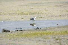 Пребывание чайки на песке в Норвегии стоковые фотографии rf