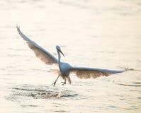 Пребывание Egret в воде стоковое фото