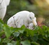 Пребывание Egret в дереве стоковые изображения