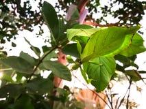 Пребывание phyllium насекомого лист на ветви зеленого дерева в лесе стоковые изображения rf