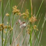 Превосходный женский Fairy крапивниковые Стоковое Фото